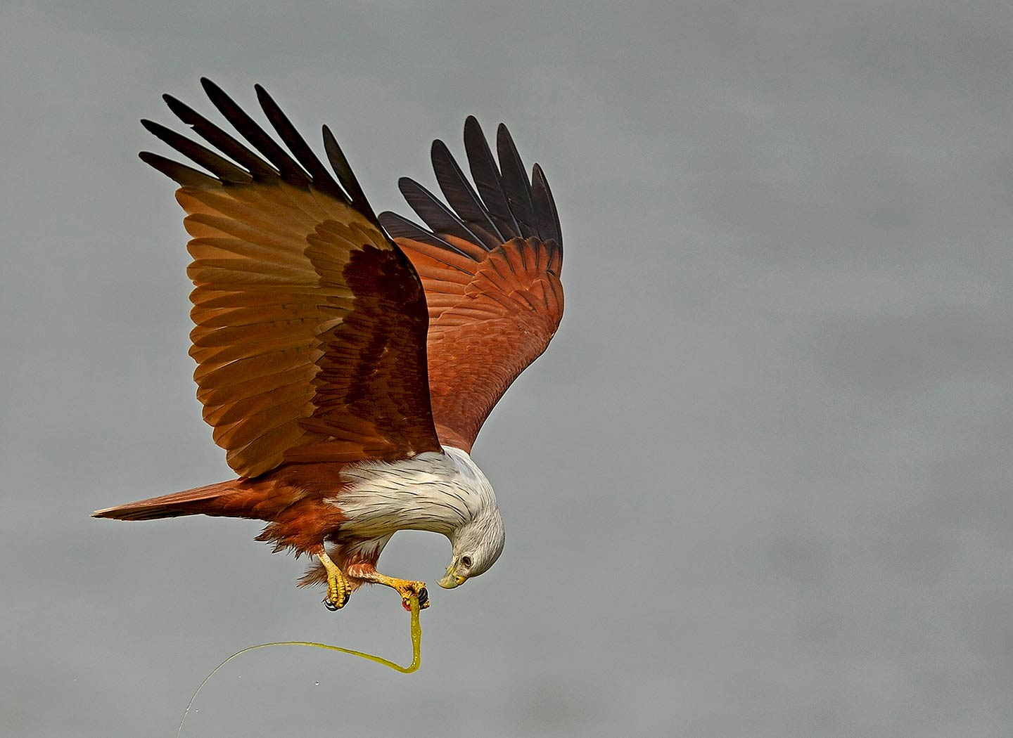Brahminy Kite with Weed