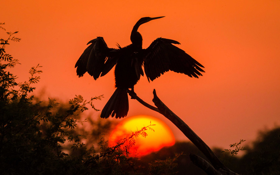 Darter at Sunset